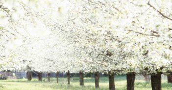 El cáncer bacterial,  también se debe controlar durante la floración del cerezo.