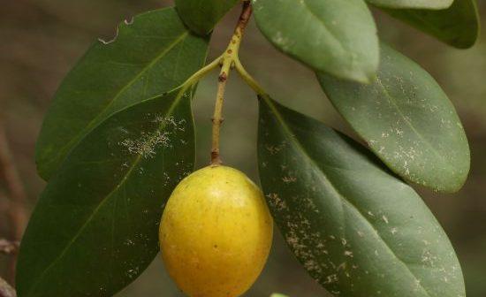 Todo Ing. agrónomo Chileno, debería conocer este fruto…